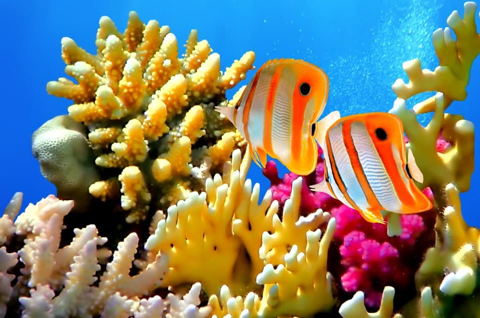 Coral reefs can be damaged by scuba divers