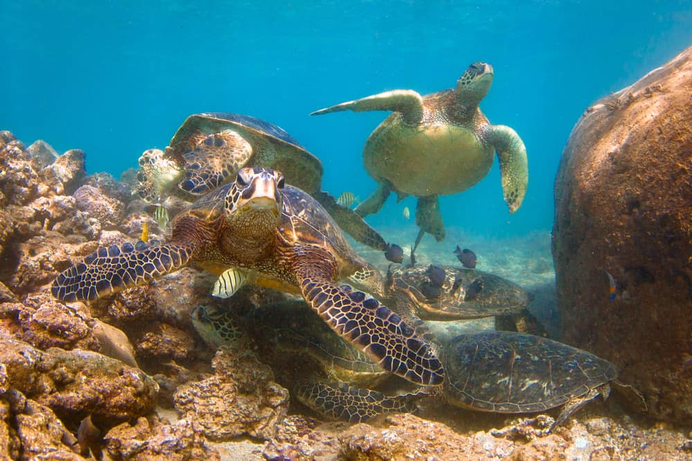 See Hawaiian Green Sea Turtles when diving