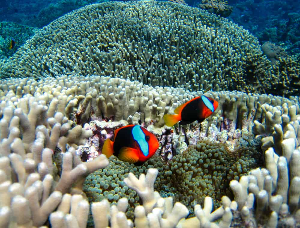 Nemo Fish on the Great Barrier Reef in Queensland, Australia