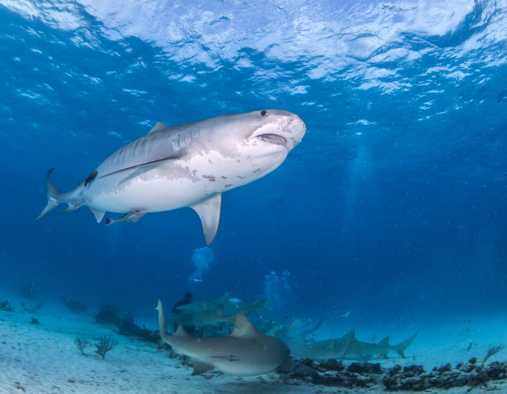 Diving with Tigershark in the Bahamas