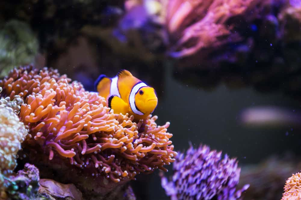 Clown fish in FIji